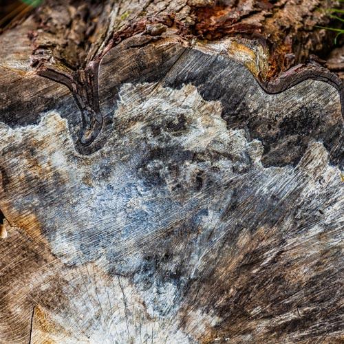 Die Holzmaserung eines alten Baumes erzählt eine lange Geschichte 01
